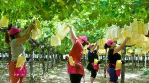 Mimamos la uva para que te llegue en perfectas condiciones