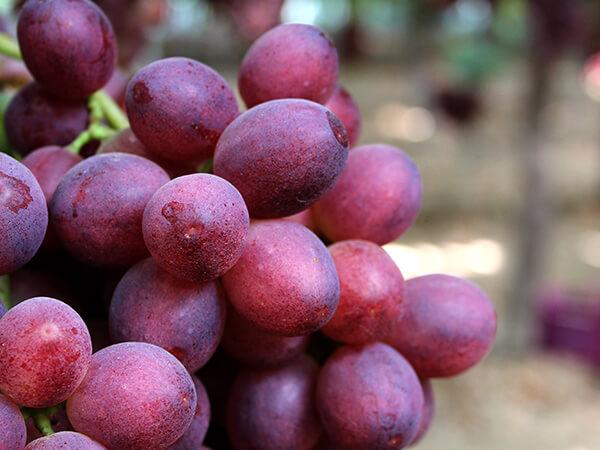 Uva roja sin semillas Carlita