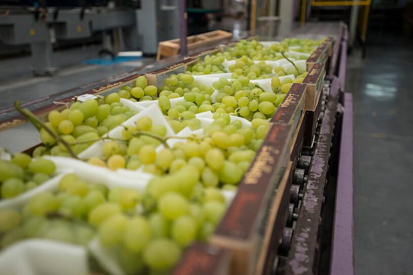 Producción de uva