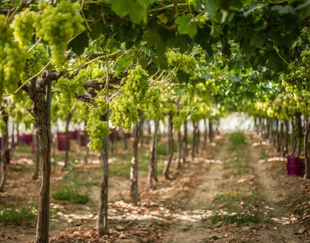 Apostamos por las uvas sin semillas