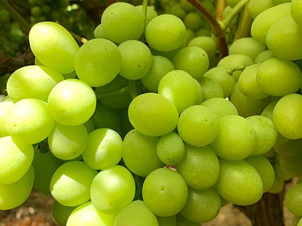 Uva blanca sin semillas Sweet Globe