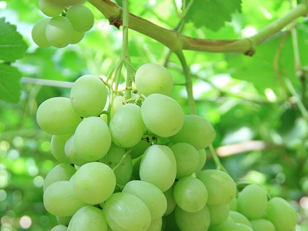 Uva blanca sin semillas Timpson