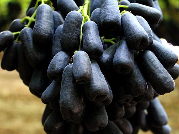Uva negra sin semillas Sweet Sapphire