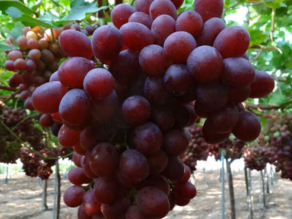 Uva roja sin semillas Allison