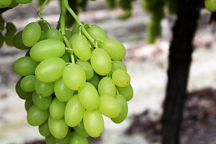 Uva blanca precampaña