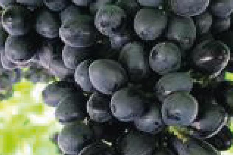 Adora tipo de uva negra sin semillas