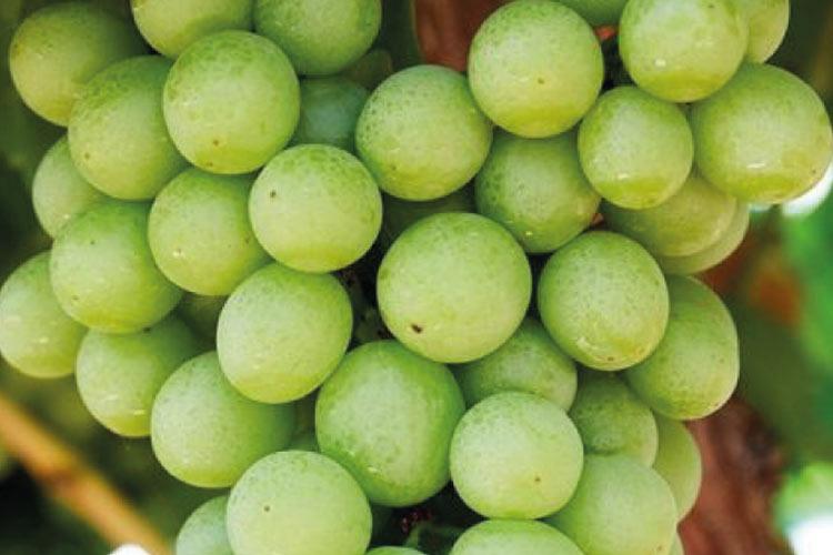 Autumn Crisp tipo de uva blanca sin semillas