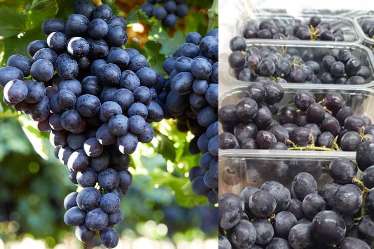 Sable uva negra sin semillas