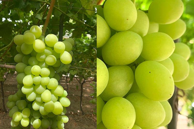 Sweet Globe uva blanca sin semillas