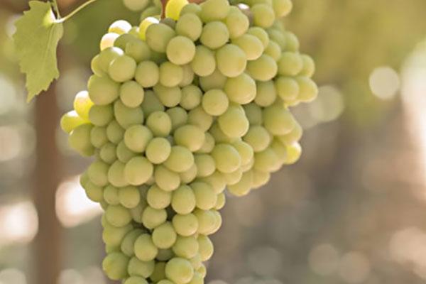 Uva blanca sin semillas Candy