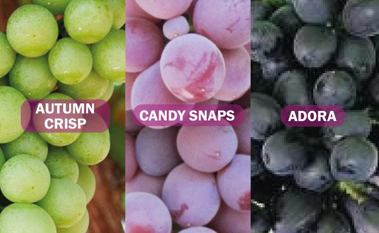 Variedades de uva sin semillas: adora, candy snaps y autumn crisp