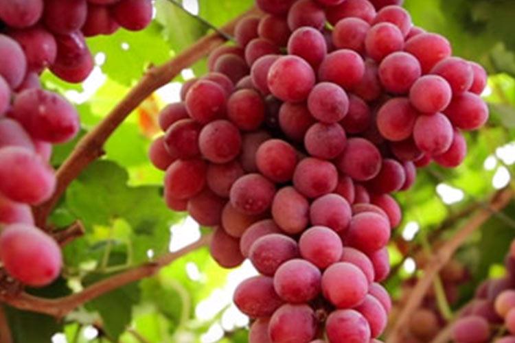 Scarlotta uva roja sin semillas