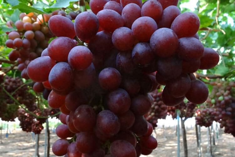 Allison uva roja sin semillas