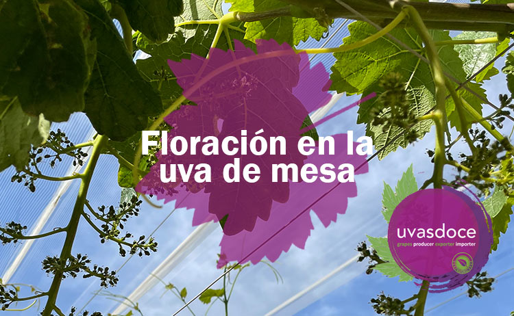 Floración de la uva de mesa