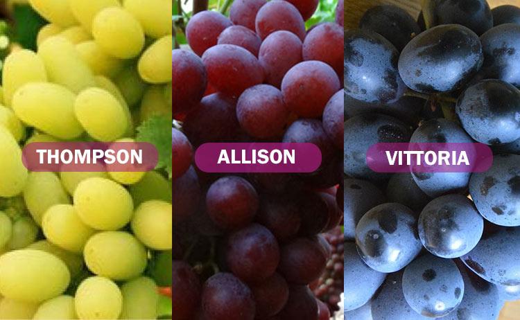 Variedades de uva: Thompson, Allison y Vittoria