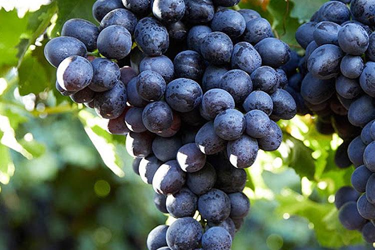 Midnight Beauty uva negra sin semillas