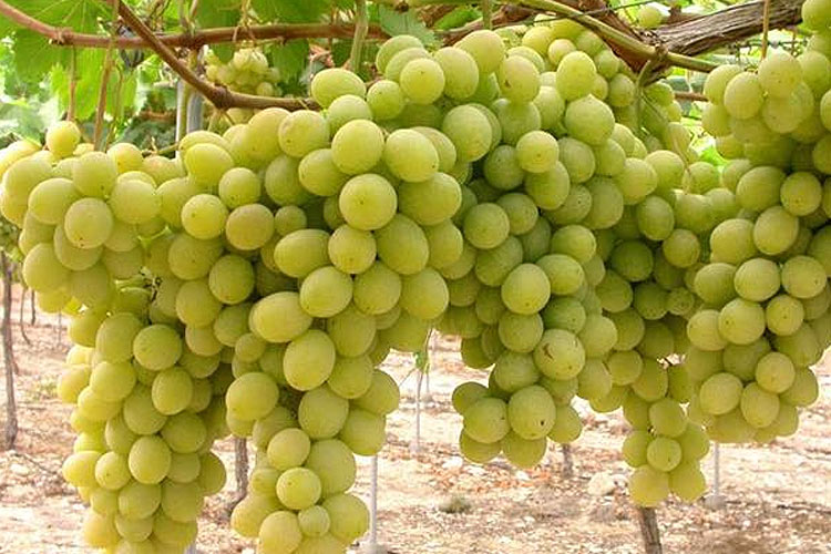 Superior uva blanca sin semillas