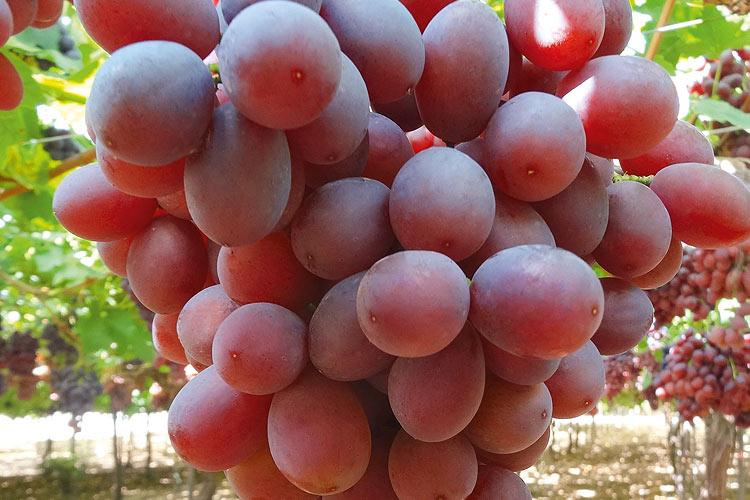 Timco uva roja sin semillas