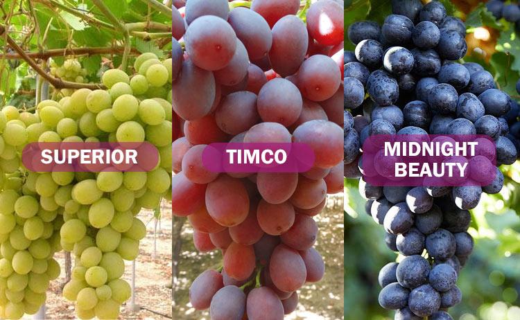 Variedades de uva: Superior, Timco y Midnight Beauty
