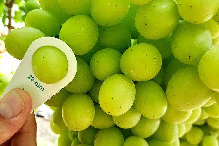 Calibre uva Timson