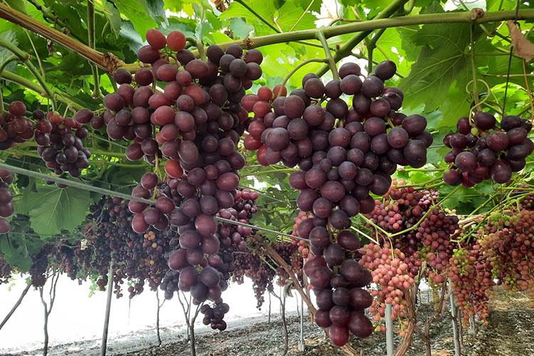 Fase de maduración de la uva de mesa