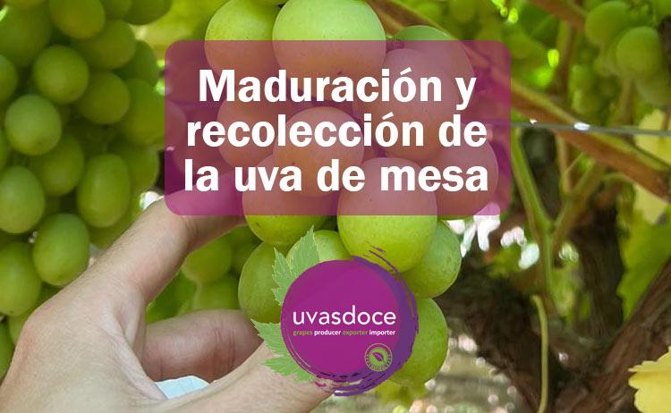 Qué es la maduración de la uva de mesa