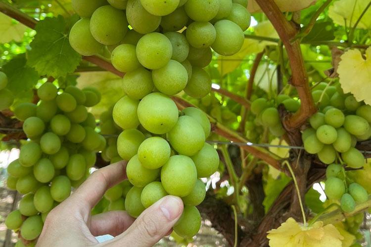 Recolección de uva de mesa con óptimo nivel de azúcares