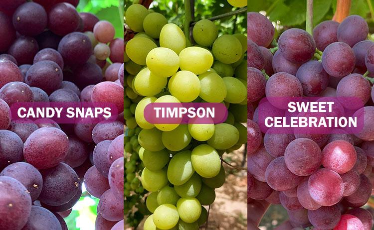 Variedades de uva Timpson, Sweet Celebration y Candy Snaps