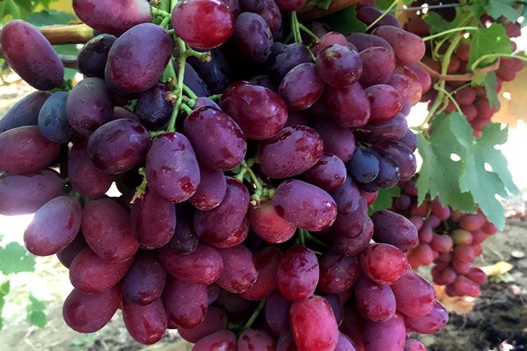 Jack's Salute uva roja sin semillas IFG