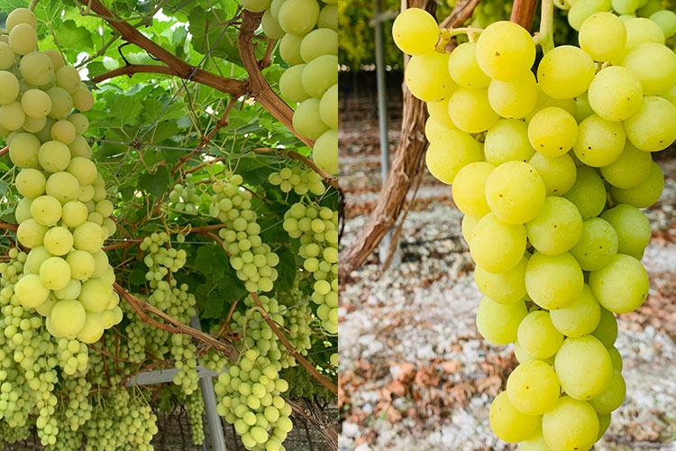 Sweet Globe variedad de uva blanca IFG