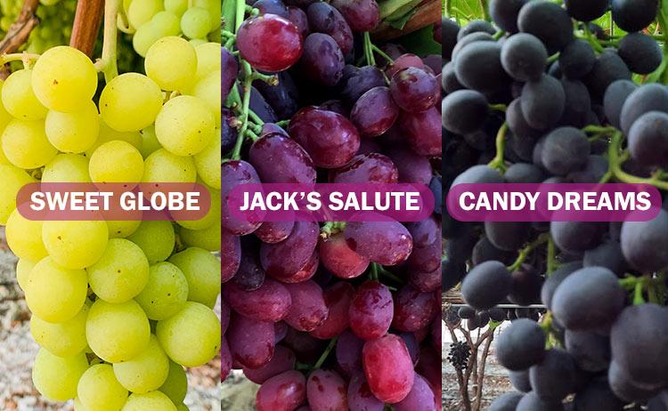 Variedades de uva: Sweet Globe, Jack's Salute y Candy Dreams