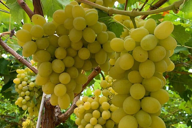 Cotton Candy uva sabor de algodón de azúcar