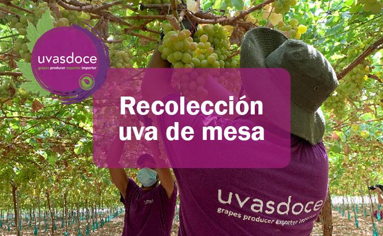 Qué es la recolección de la uva de mesa