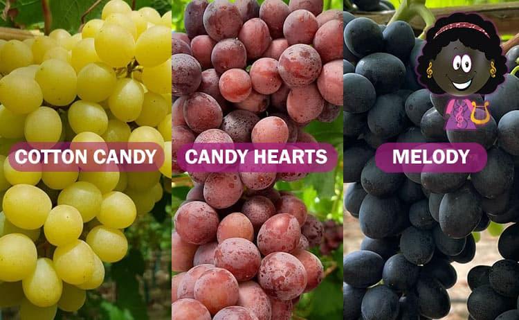 Variedades uva: Cotton Candy, Candy Hearts y Melody