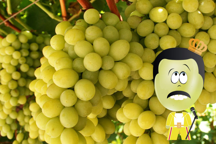 Regal uva blanca sin semillas